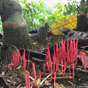 Clavulinopsis miyabeana 紅擬鎖瑚菌
