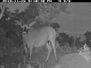 Photo: Another roan bull inside the sanctuary! Mais um macho de palanca vermelha dentro do santuário!