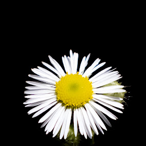 Splash by Michael Thorndike - Flowers Single Flower ( nature, single flower, yellow, photography, flower )
