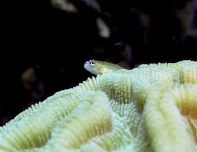 Photo: A peppermint goby (Coryphopterus lipernes) checking out the view from atop the brain coral Colpophyllia natans