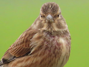 Photo: RAF Shawbury A rather alarming close-up of this bird: it does seem to be a growth of some sort on the bill. On this species it is unlikely to have picked up any infection at any feeding station. (Ed Wilson)