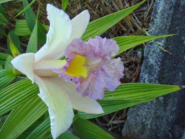 De bamboe-orchidee is een schoolvoorbeeld van Madeirense bling-bling en aanstellerij!
