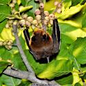Greater Short-Nosed Fruit Bat / चमेरो