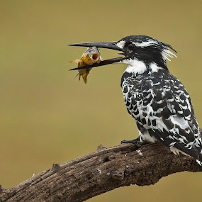 Feathers and Fins by Rute Martins - Animals Birds ( pied kingfisher, black and white bird, bird, south africa, pied, kingfisher, pilanesberg,  )