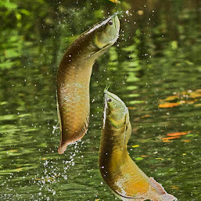 Arowana by Goh Poh Leong - Animals Fish