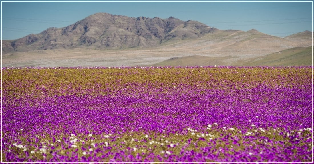 Desierto Florido, a floração no deserto do Atacama