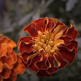 Marigolds by Bill Martin - Flowers Flower Gardens ( marigolds, orange, flowers, color, nature, plant, yellow, garden, petals )