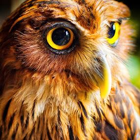 Philippine Eagle Owl by Jun Robato - Animals Birds ( animal portrait, nature, owl, wildlife, birds )