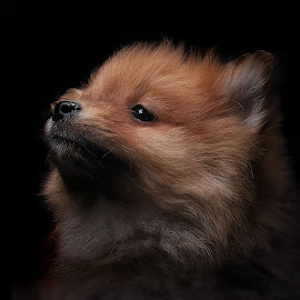 ruf by Chad Heggen - Animals - Dogs Puppies ( orange, tan, white, puppy, pomeranian, dog, puppies )
