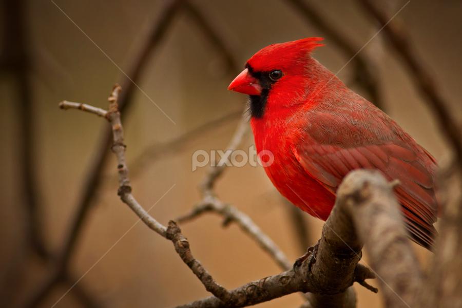 Ruby Red by Scott Denny - Animals Birds ( denny, scott )