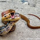Copper-headed trinket snake