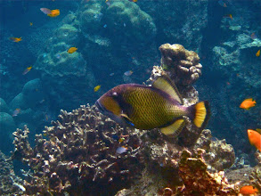 Photo: giant triggerfish