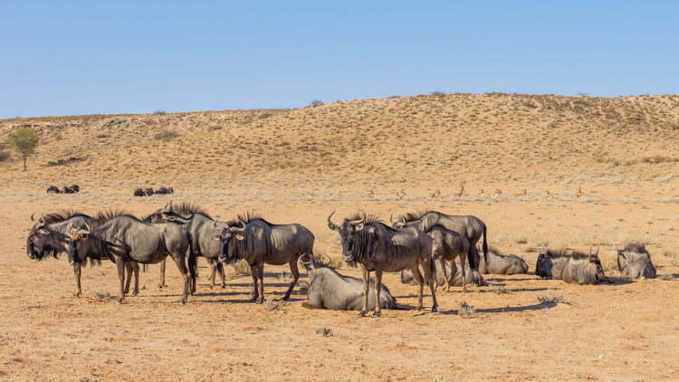 A herd of common or blue wildebeest resting in the arid Kgalagadi Transfrontier Park.