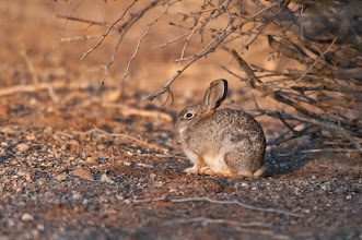 Photo: Rabbit catches the sun's first rays; near the Visitors' Center of the Sonny Bono Salton Sea National Wildlife Refuge