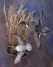 Photo: Flying pintail pair w/habitat