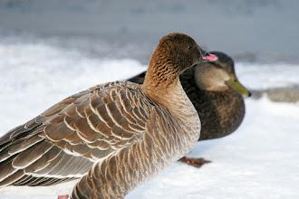 Photo: Pink Footed Goose, 6 Jan 2013