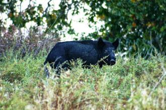 Photo: Pig - Tejon Ranch Conservancy