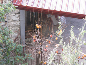 Photo: Persimmon ready to pick in someone's garden