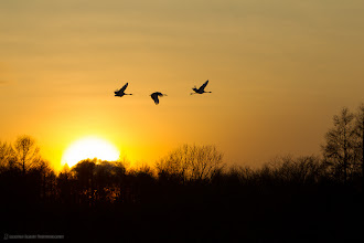 Photo: Cranes Flying to Roost.