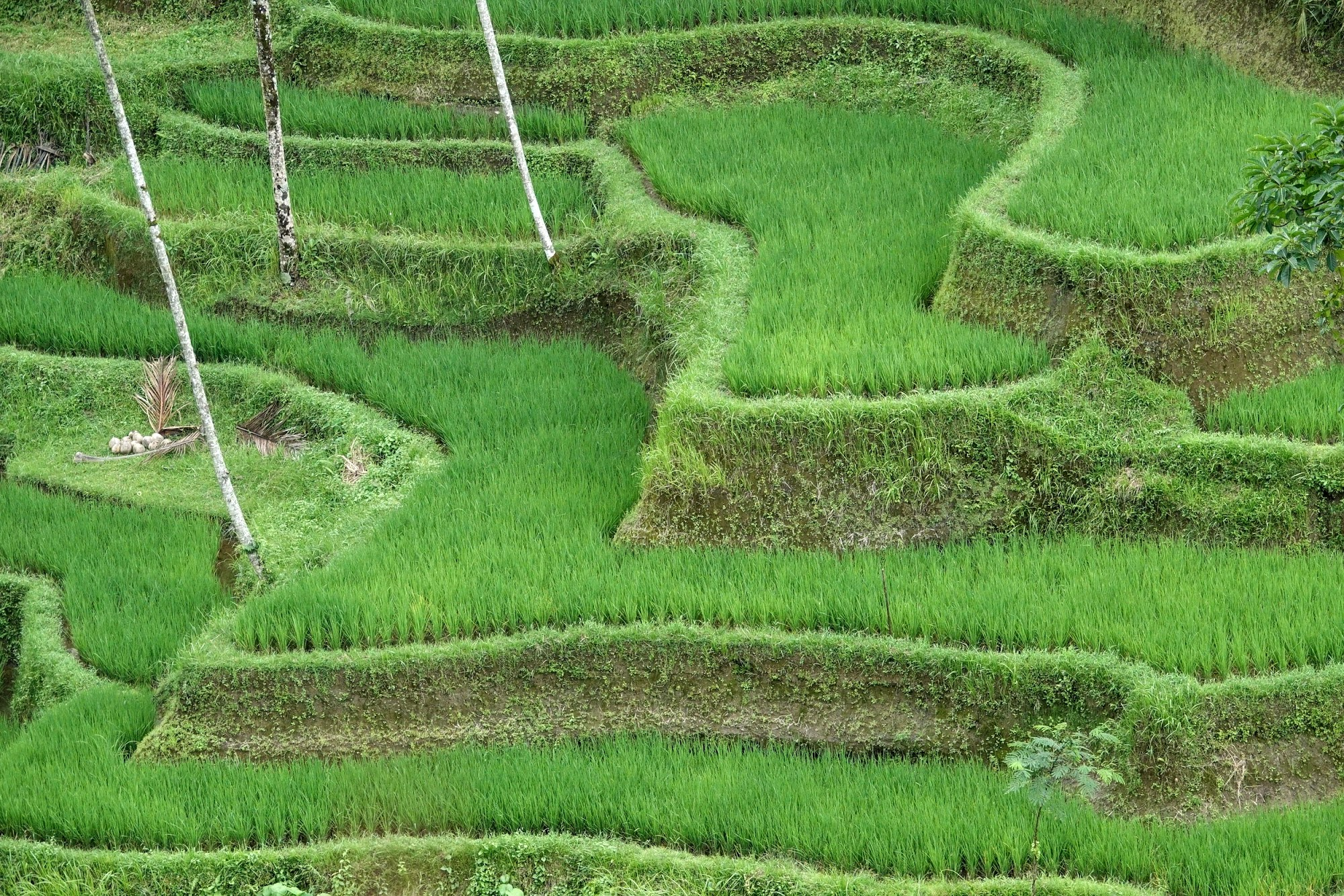 Indonesia. Bali Tegalalang Rice Terraces Banner. One-month old rice growth