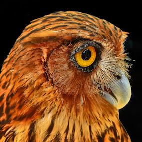 A red owl by Wilfredo Garrido - Animals Birds ( red owl, owl, birds )