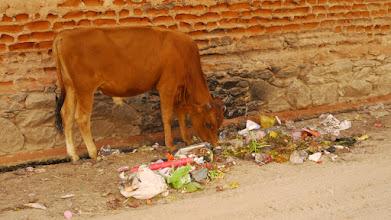 Photo: Eine heilige Kuh auf Nahrungssuche
