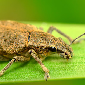 Rat Looks by Stevie Go - Animals Insects & Spiders ( macro, insect )