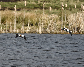 Photo: Shelduck coming in to land