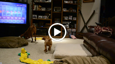 Video: Akela is a natural tugger.