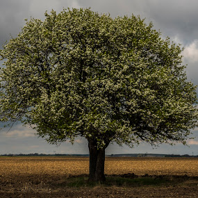 Lonely Tree by Octavian Oprea - Nature Up Close Trees & Bushes ( oak, spring, springtime, lonely, oak tree )