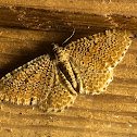 Cherry Scalloped Shell Moth
