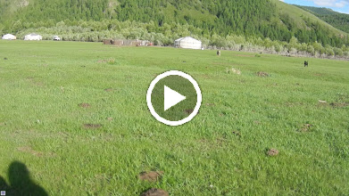 Video: This is what happens when you go by a ger on an ox cart...