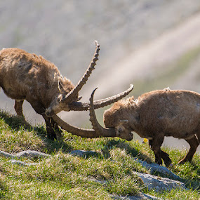 Clash of the titans by Blaž Ocvirk - Animals Other Mammals ( capra ibex ibex, capricorn )