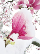 Photo: Snow on white magnolia blossom at Cox Arboretum in Dayton, Ohio.