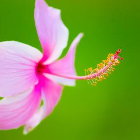 flower photography by Uday Shankar - Flowers Single Flower