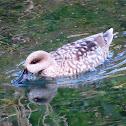 Marbled duck. Cerceta pardilla