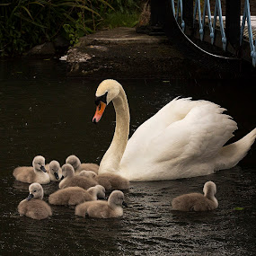 by Andrew Magee - Animals Birds ( bird, cygnet, nature, waterfowl, wildlife, swan )