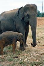 Photo: Elephant cow and newish baby