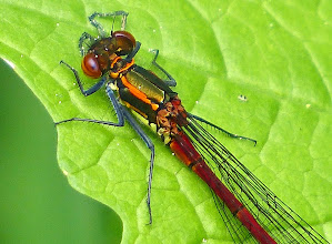 Photo: Frühe Adonislibelle (Pyrrhosoma nymphula) 2  Detail