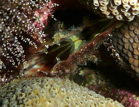Photo: Amber penshell  (Pinna carnea) tucked between the columns of a star coral
