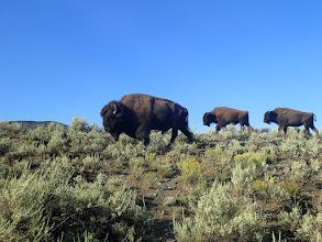 Photo: Bison in Yellowstone- 2016 Slide Inn Trip