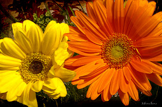 Photo: ...yellow and orange...  The only thing that can make my day more beautiful is looking at something colorful...like this summer colored photo. It is snowing in Chicago and doesn't look like Spring's coming, it's more like January Winter...  #canonusers #canon   #canonphotographers   #canonphotography , #promotephotography +Promote Photography  by +Nikola Nikolski  #photography #floralphotography   #PlusPhotoExtract  #floral   #floralphotography    #SpringCountdown  #textureblendphotography  +Texture Blend Photography by +Gemma Costa; #paintitclub  +PaintIt Club by +Richard Mabb, +Celso Carvalho, +Clare Bambers, +Rick Leaf, +k phelps, +Carol Small, +Astrid Bartels, +Elin Vaeth, +Stefan Kierek and myself;  New addition to my Artflakes Portfolio: http://www.artflakes.com/en/products/yellow-and-orange