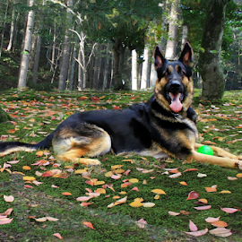 Apache by Dawn Vance - Animals - Dogs Portraits ( german shepherd, black, shepherd, dog, dog portrait )