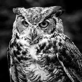 Mr. Owl by Monroe Phillips - Black & White Animals