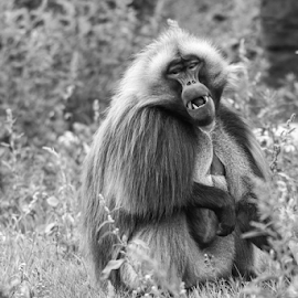 Gelada by Garry Chisholm - Black & White Animals ( primate, gelada, nature, mammal, ape, baboon, garry chisholm )