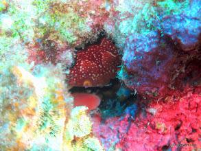Photo: Batwing Coral Crab