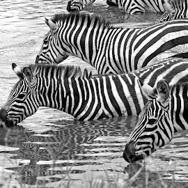 A sip of Water by Pravine Chester - Black & White Animals ( animals, monochrome, wildlife photography, black and white, wildlife, zebras )