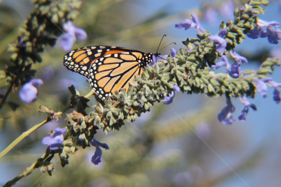Nectar From The Branch by Ted and Nicole Lincoln - Uncategorized All Uncategorized ( flowers, butterfly, insect, branches, branch,  )