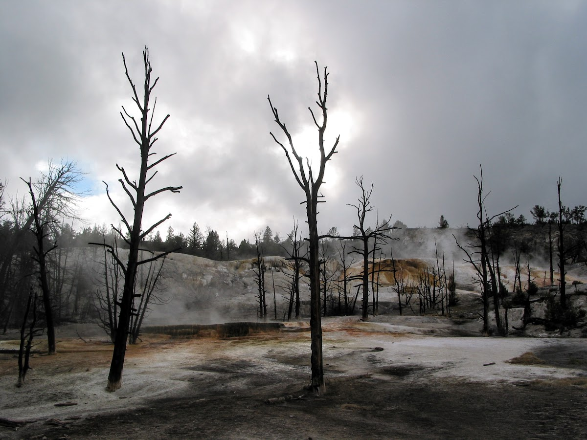 Dead Trees at the Mammoth Hot Springs