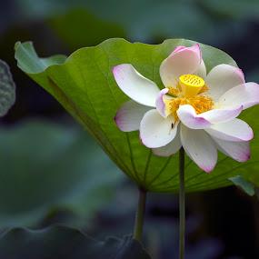 lotus flower by S F - Nature Up Close Flowers - 2011-2013 ( blumen, fleur, jardin aquatique, garden, lotus flower )